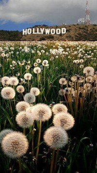 Hollywood Dandelions